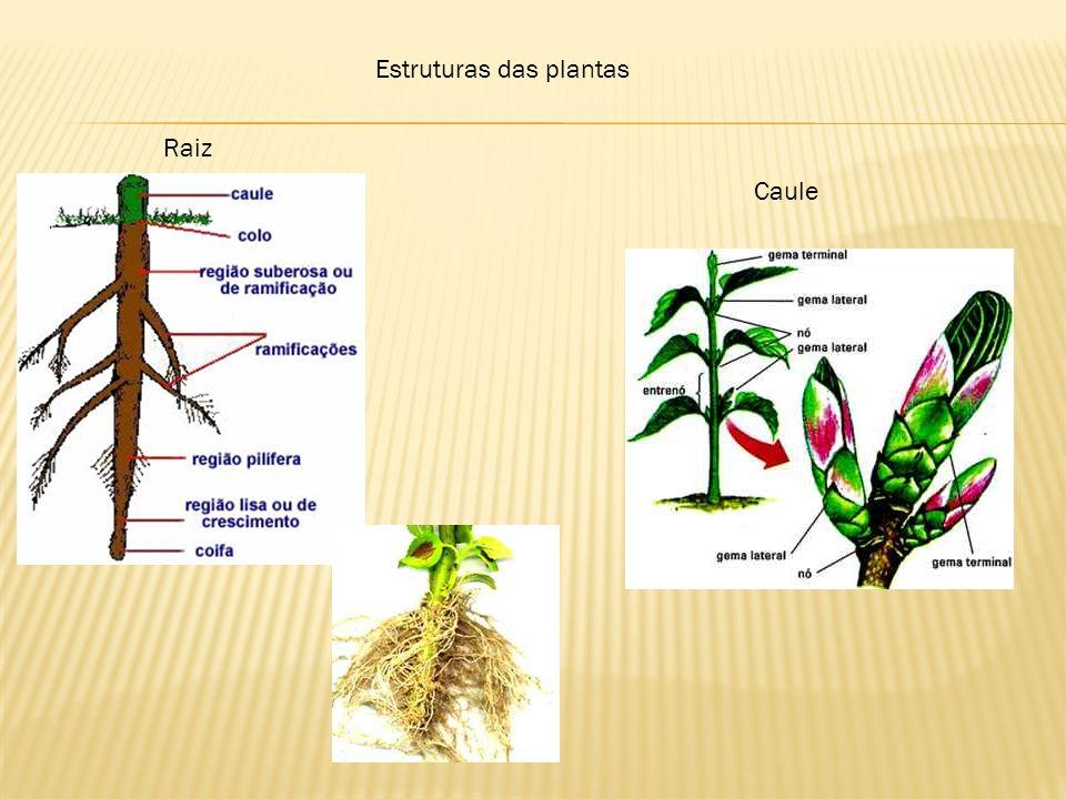 Estruturas das plantas Raiz Caule