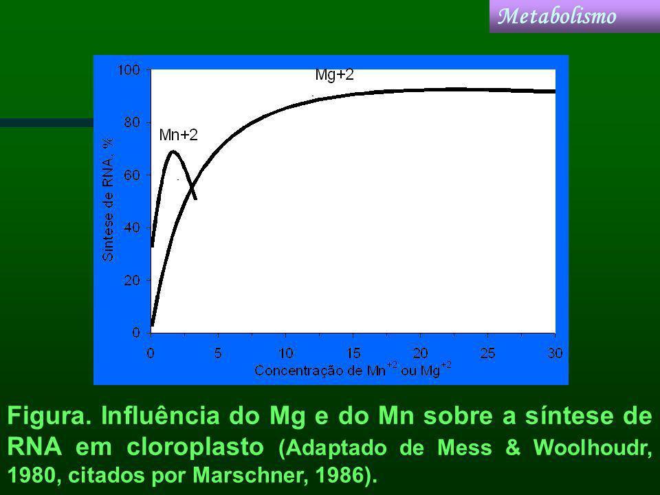 Figura. Influência do Mg e do Mn sobre a síntese de RNA em cloroplasto (Adaptado de Mess & Woolhoudr, 1980, citados por Marschner, 1986). Metabolismo