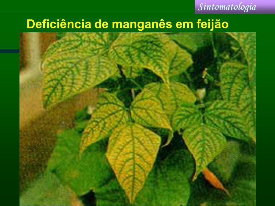 Deficiência de manganês em feijão Sintomatologia