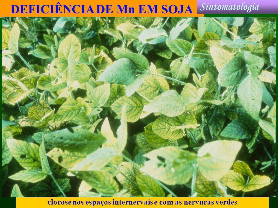 DEFICIÊNCIA DE Mn EM SOJA clorose nos espaços internervais e com as nervuras verdes Sintomatologia