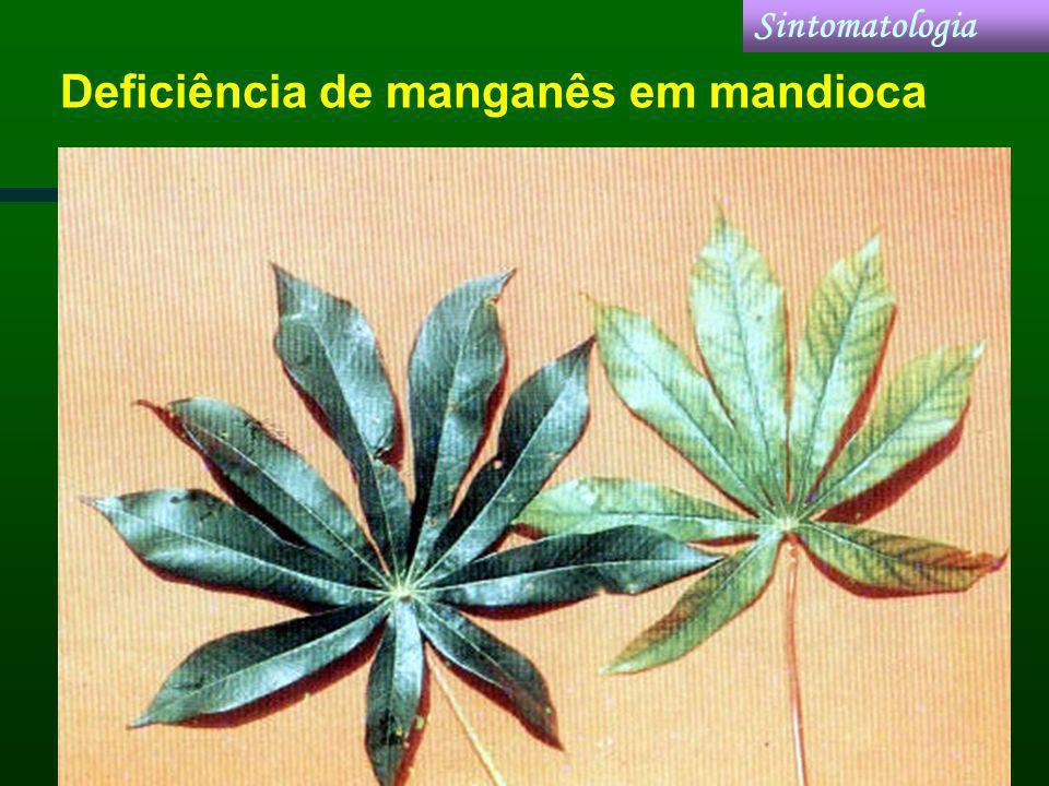 Deficiência de manganês em mandioca Sintomatologia
