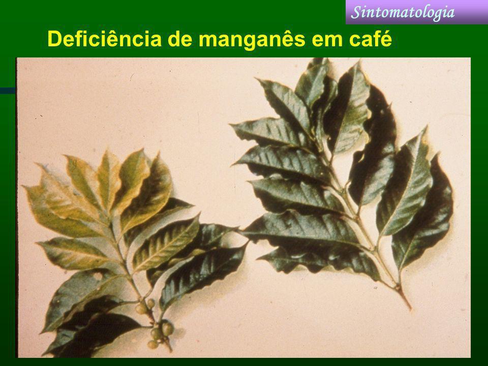 Deficiência de manganês em café Sintomatologia