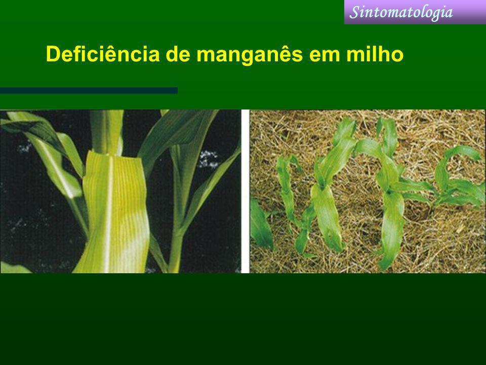 Deficiência de manganês em milho Sintomatologia
