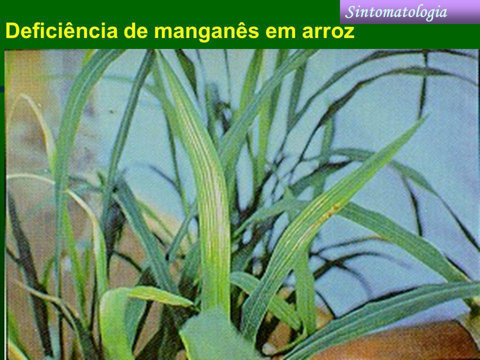 Deficiência de manganês em arroz Sintomatologia