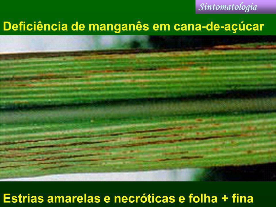 Deficiência de manganês em cana-de-açúcar Sintomatologia Estrias amarelas e necróticas e folha + fina