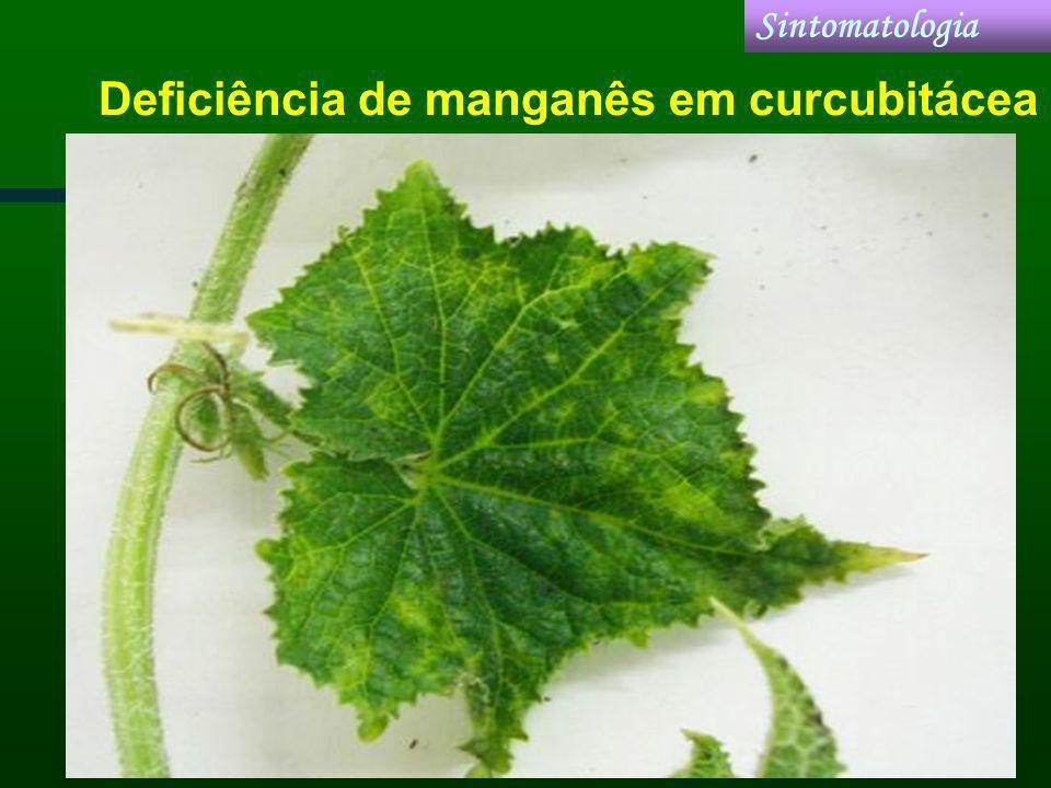 Deficiência de manganês em curcubitácea Sintomatologia