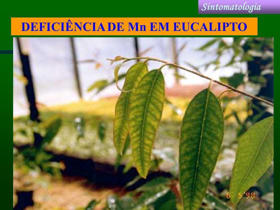 DEFICIÊNCIA DE Mn EM EUCALIPTO Sintomatologia