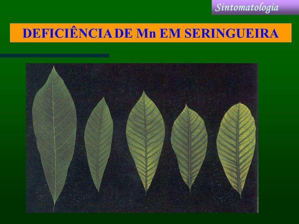 DEFICIÊNCIA DE Mn EM SERINGUEIRA Sintomatologia