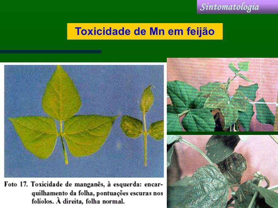 Toxicidade de Mn em feijão Sintomatologia
