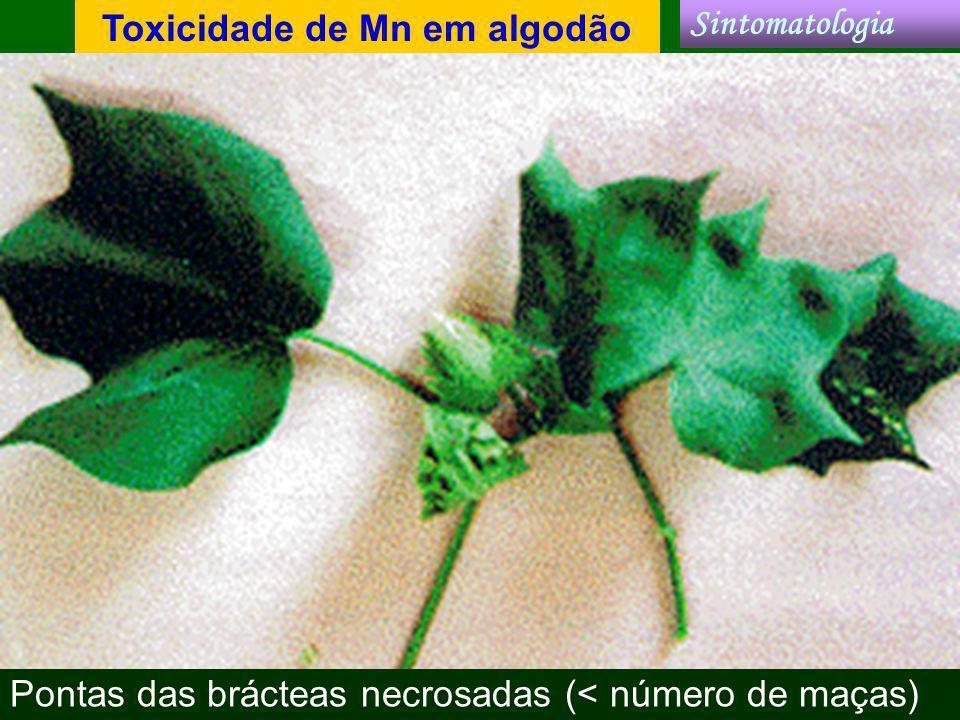 Toxicidade de Mn em algodão Pontas das brácteas necrosadas (< número de maças) Sintomatologia