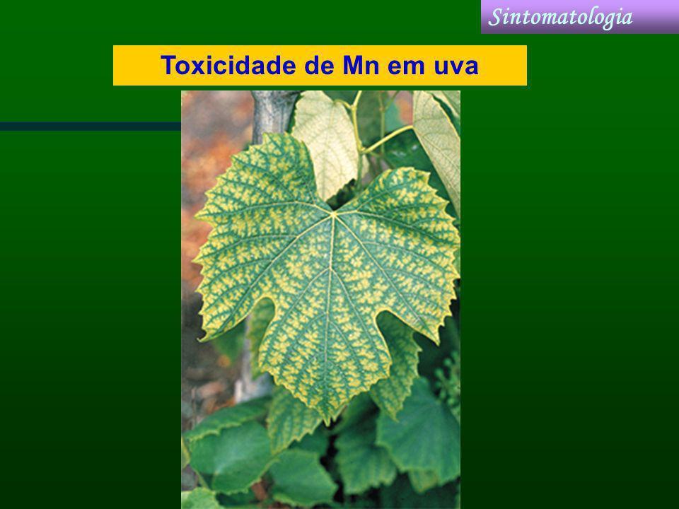Toxicidade de Mn em uva Sintomatologia