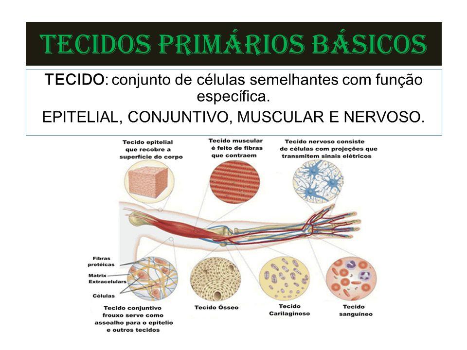 TECIDOS PRIMÁRIOS BÁSICOS TECIDO: conjunto de células semelhantes com função específica.