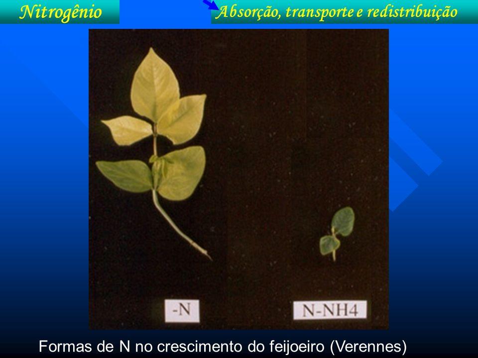 Nitrogênio Absorção, transporte e redistribuição Efeito do nitrato e do amônio no crescimento e coloração de raiz de girassol
