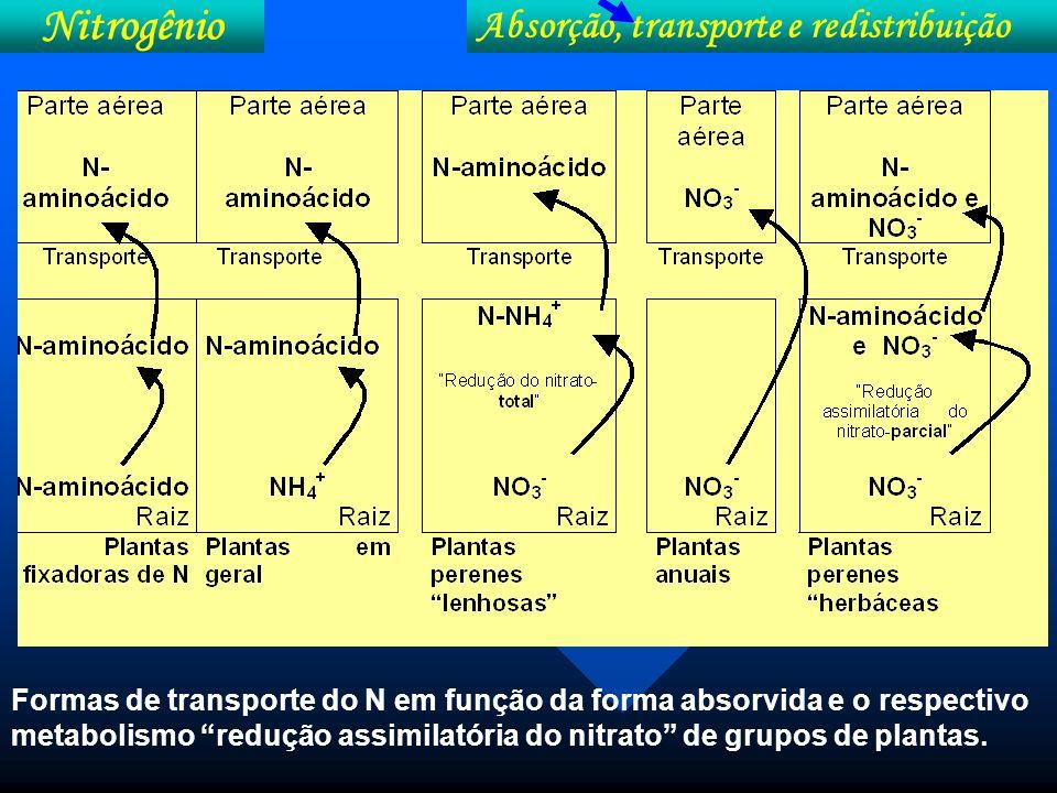 Nitrogênio Absorção, transporte e redistribuição