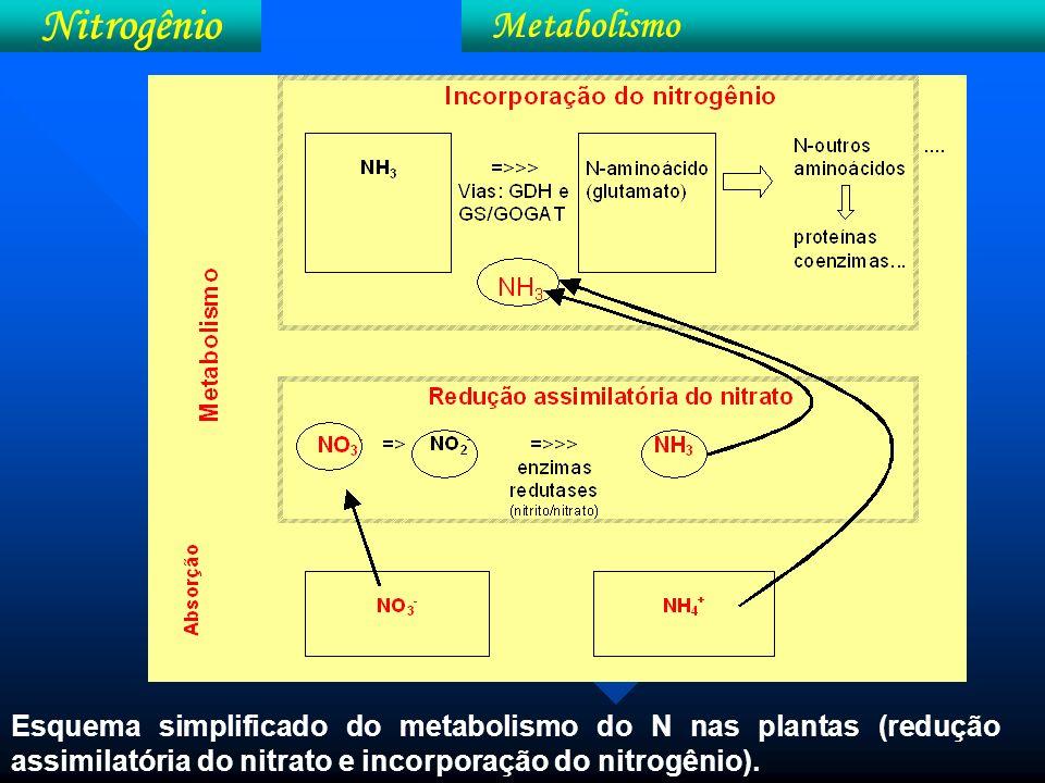 Esquema da redução do nitrato e do nitrito utilizado pelas plantas.