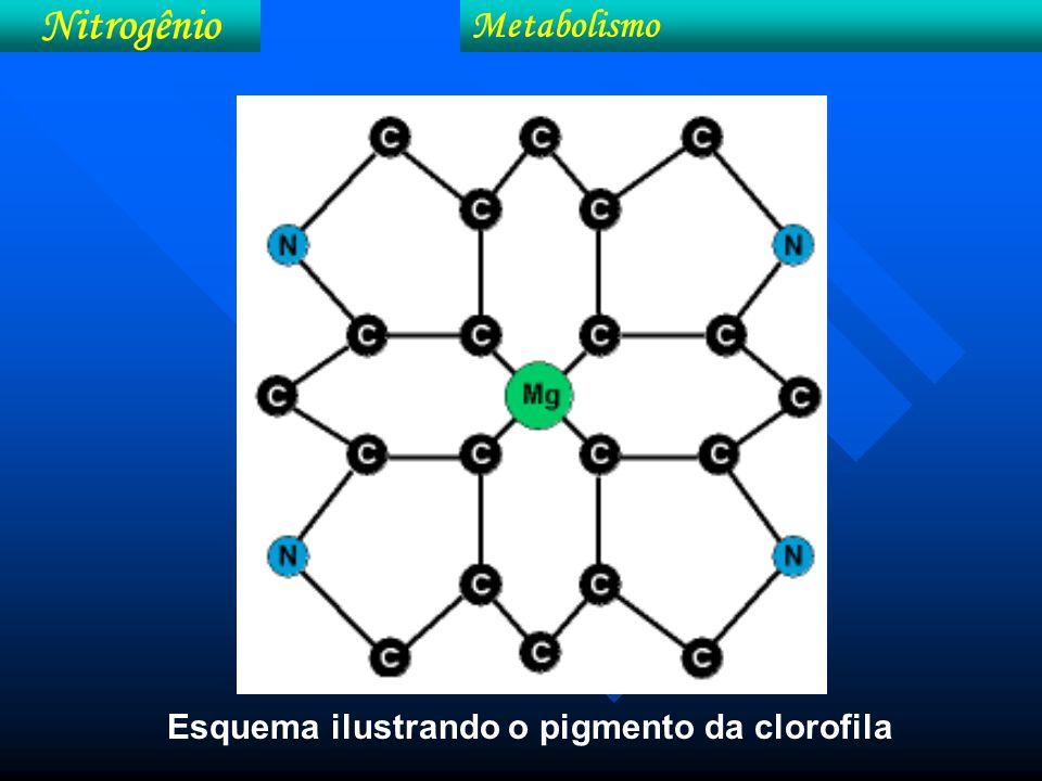 Efeito do N no incremento da clorofila do tamateiro cultivado em dois solos (PVC e AQ) (Guimarães et al., 1999).