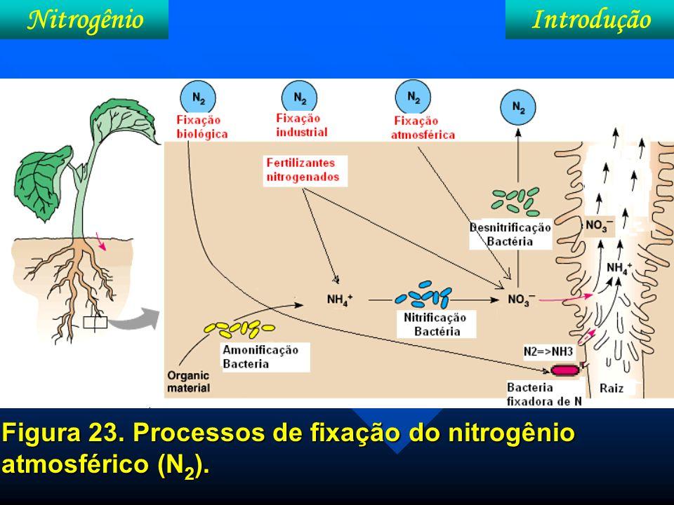 Nitrogênio Bacteriódes nos nódulos radicular de plantas de soja Bacteriódes