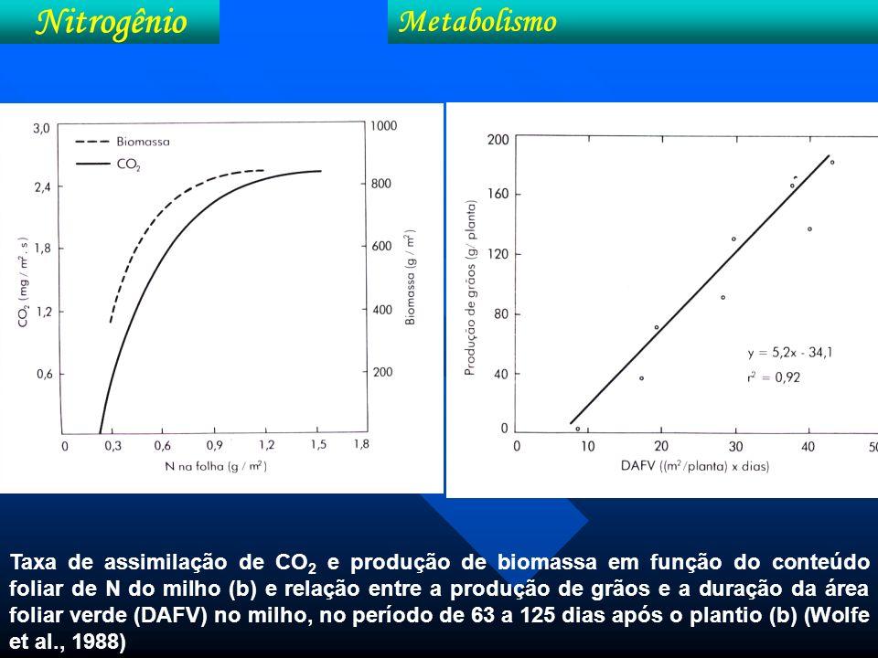 Efeito do nitrogênio no número e peso de grãos de milho e espigas em nível de deficiência e suficiência de N.