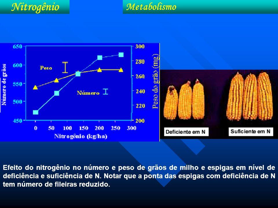 Efeito do nitrogênio no crescimento radicular de híbridos de milho Nitrogênio Metabolismo