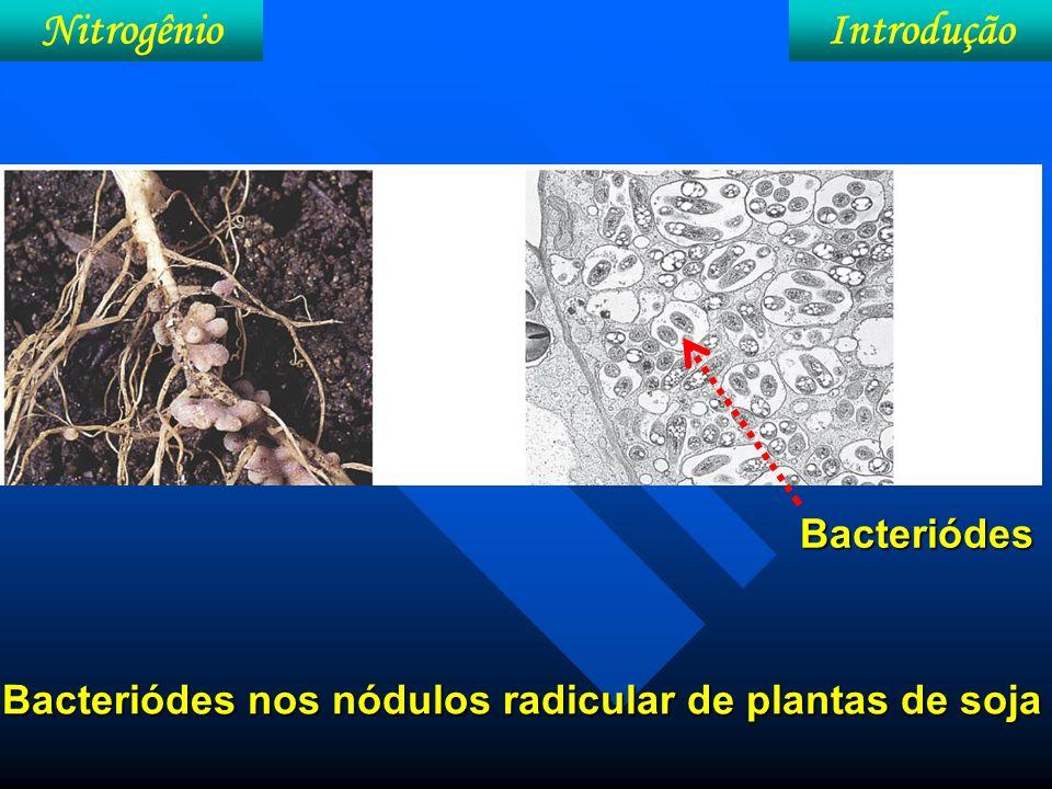 IntroduçãoNitrogênio Figura 24. Reações metabólicas de FBN nos bacterióides.
