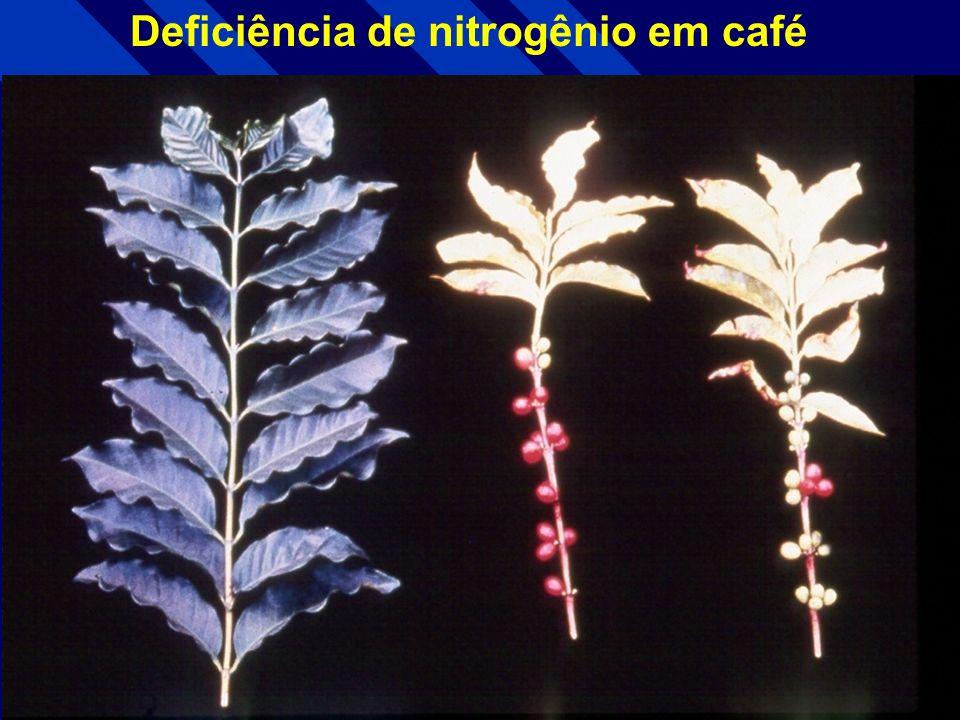 Deficiência de nitrogênio em algodão Folha +N Folha - N