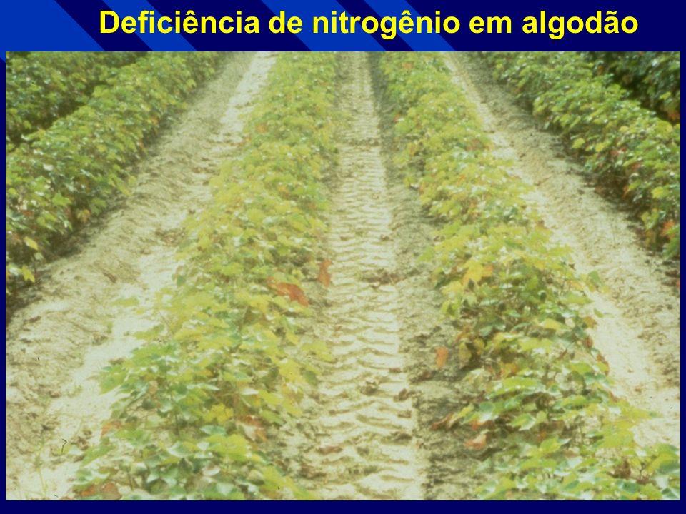 Deficiência de nitrogênio em Milho