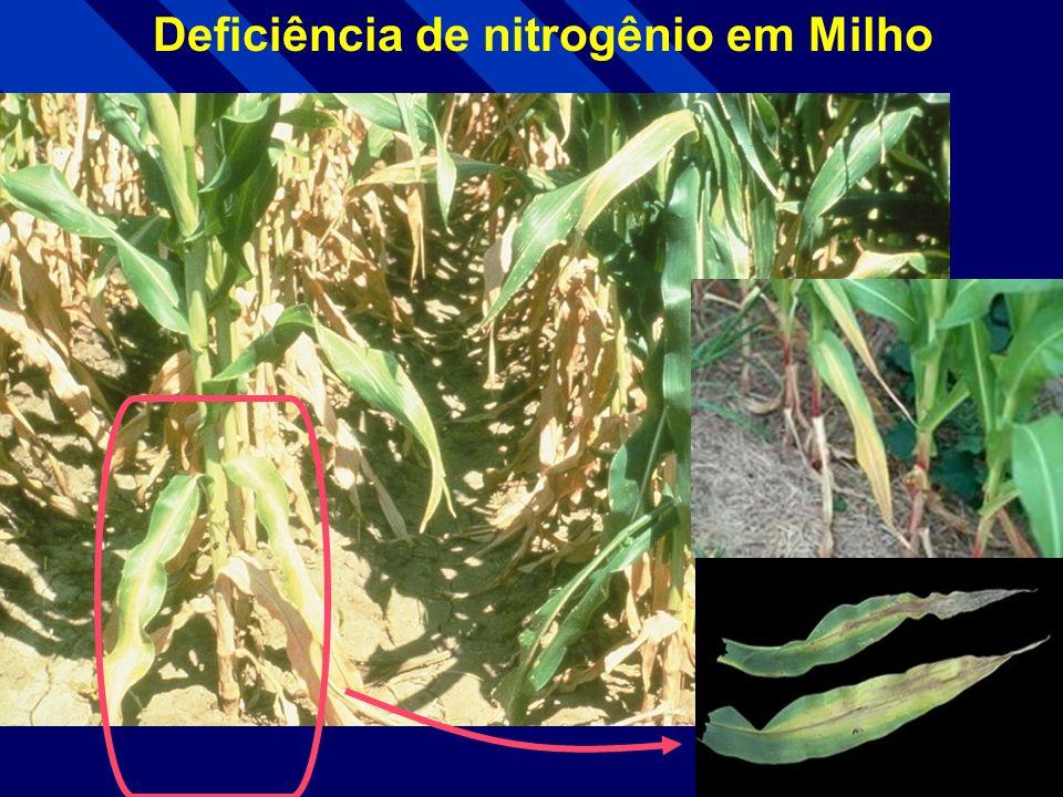 Deficiência de nitrogênio em Sorgo