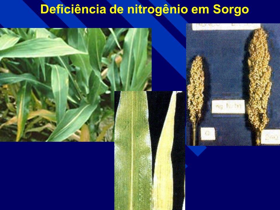 Deficiência de nitrogênio em cana-de-açúcar