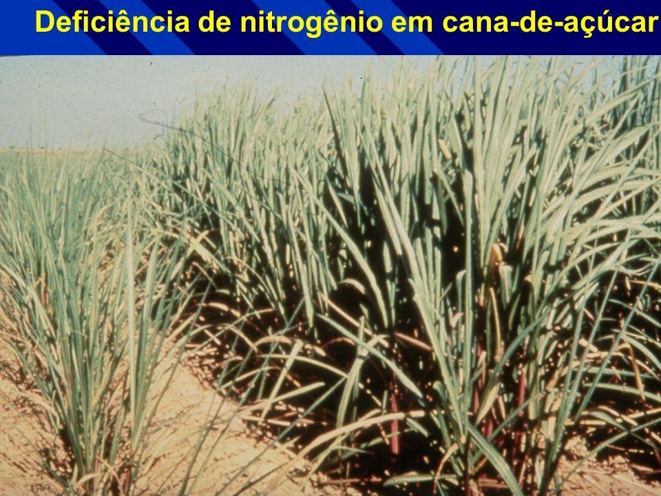 Deficiência de nitrogênio em tabaco