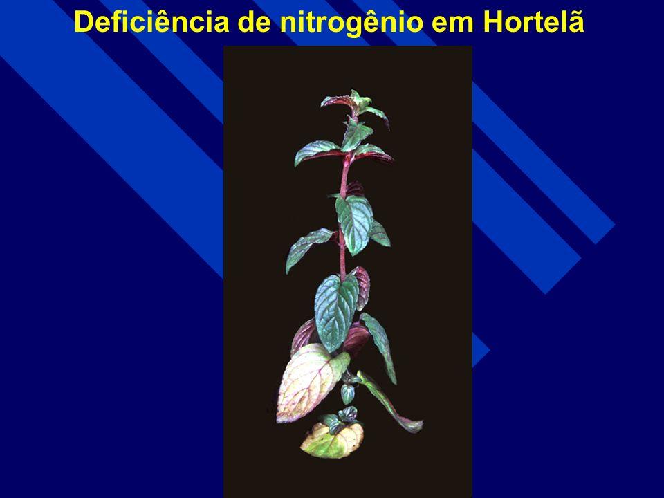 Deficiência de nitrogênio em eucalipto