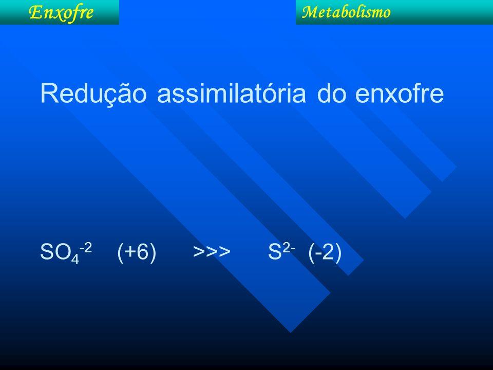 Metabolismo Enxofre Redução assimilatória do enxofre SO 4 -2 (+6) >>> S 2- (-2)