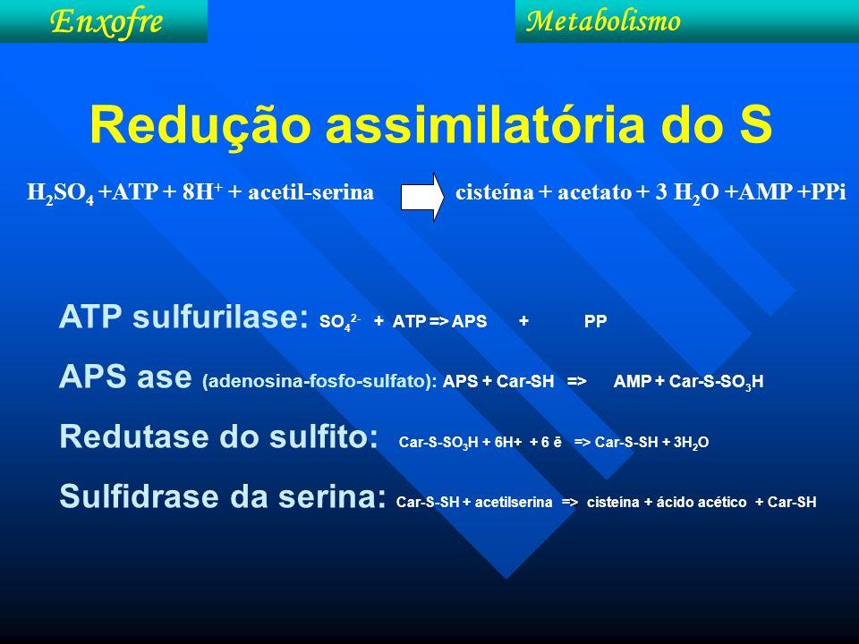 Metabolismo Enxofre H 2 SO 4 +ATP + 8H + + acetil-serina cisteína + acetato + 3 H 2 O +AMP +PPi Redução assimilatória do S ATP sulfurilase: SO 4 2- +
