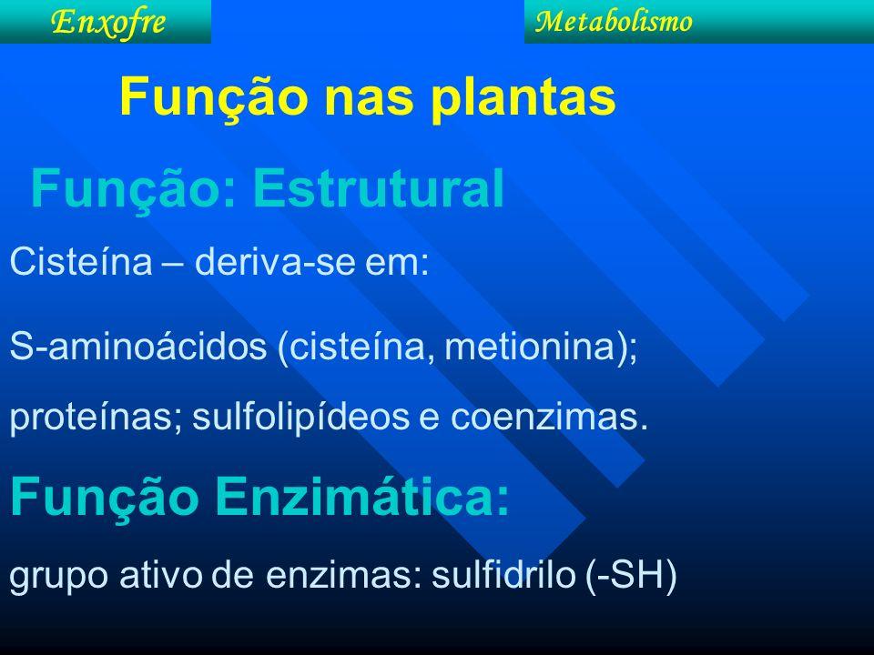 Enxofre Metabolismo Cisteína – deriva-se em: S-aminoácidos (cisteína, metionina); proteínas; sulfolipídeos e coenzimas. Função Enzimática: grupo ativo