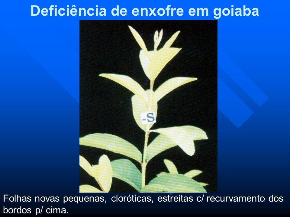 Deficiência de enxofre em goiaba Folhas novas pequenas, cloróticas, estreitas c/ recurvamento dos bordos p/ cima.