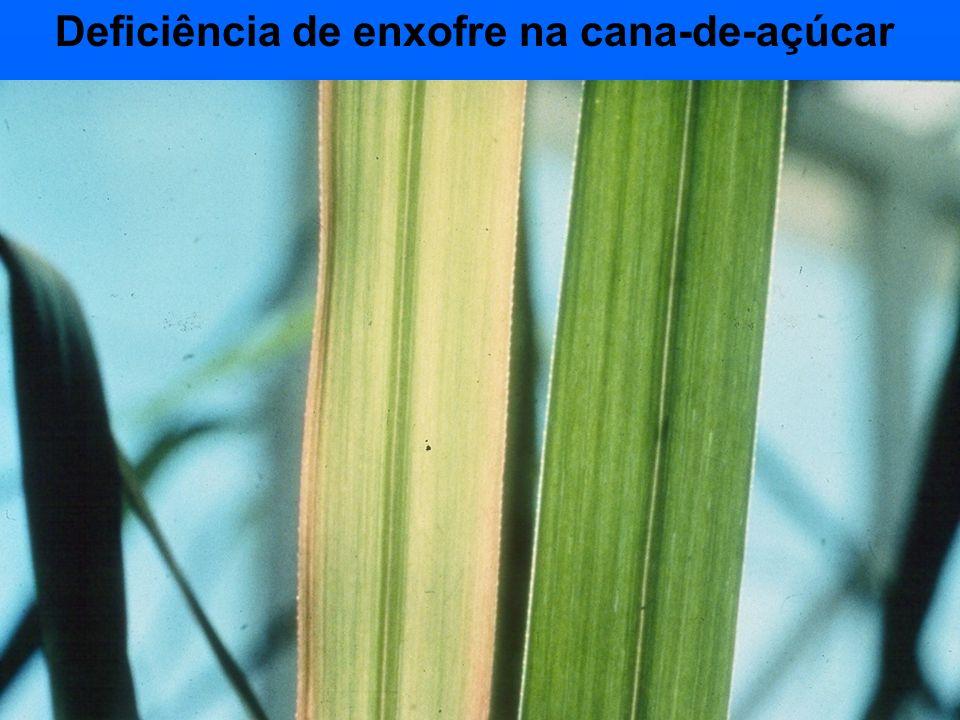 Deficiência de enxofre na cana-de-açúcar