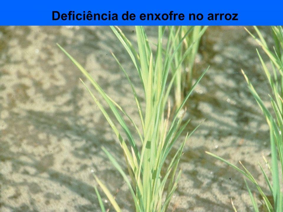 Deficiência de enxofre no arroz