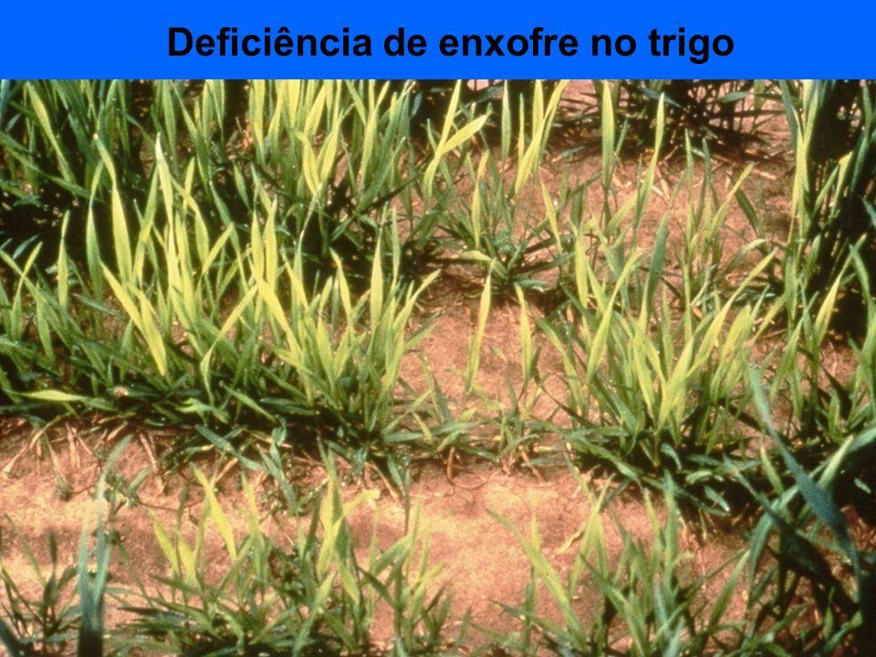 Deficiência de enxofre no trigo