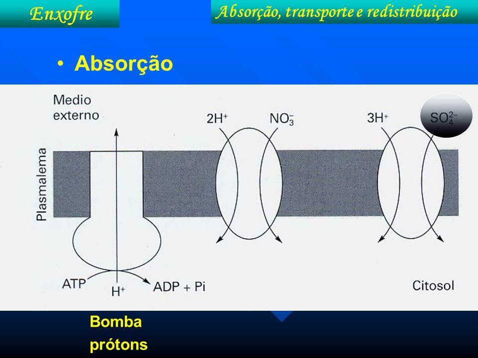 Absorção, transporte e redistribuição Enxofre SO 4 -2 Transporte