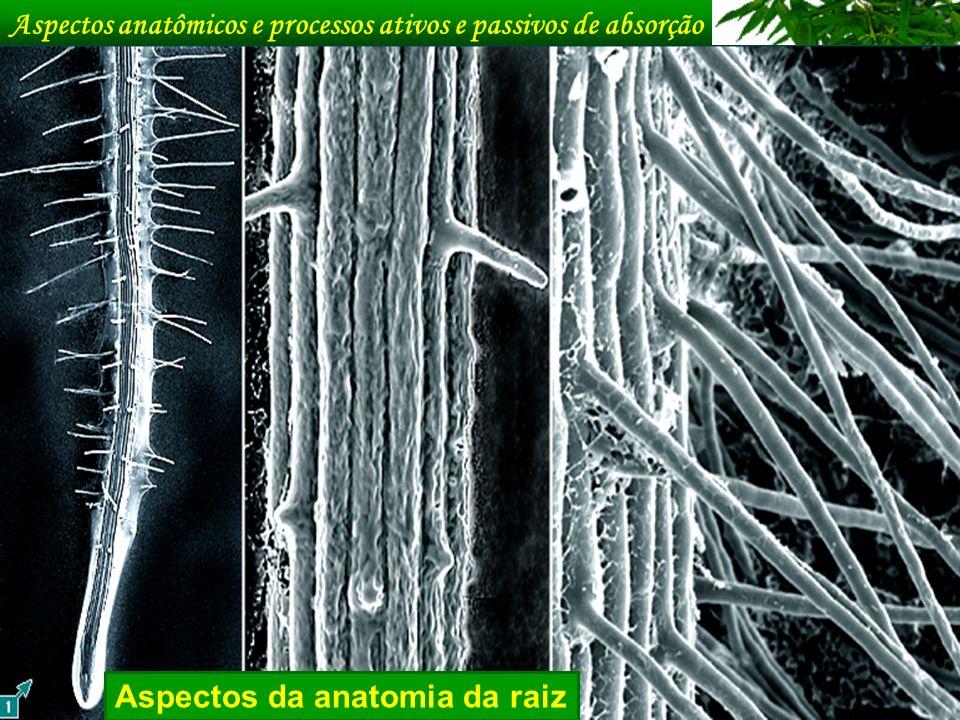 Aspectos anatômicos e processos ativos e passivos de absorção Aspectos da anatomia da raiz