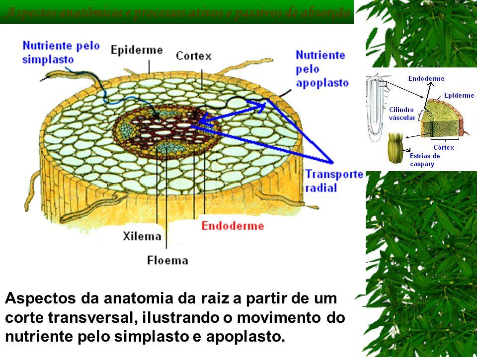 Aspectos anatômicos e processos ativos e passivos de absorção Aspectos da anatomia da raiz a partir de um corte transversal, ilustrando o movimento do
