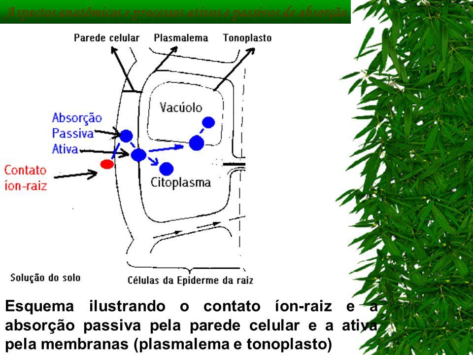 Aspectos anatômicos e processos ativos e passivos de absorção Esquema ilustrando o contato íon-raiz e a absorção passiva pela parede celular e a ativa