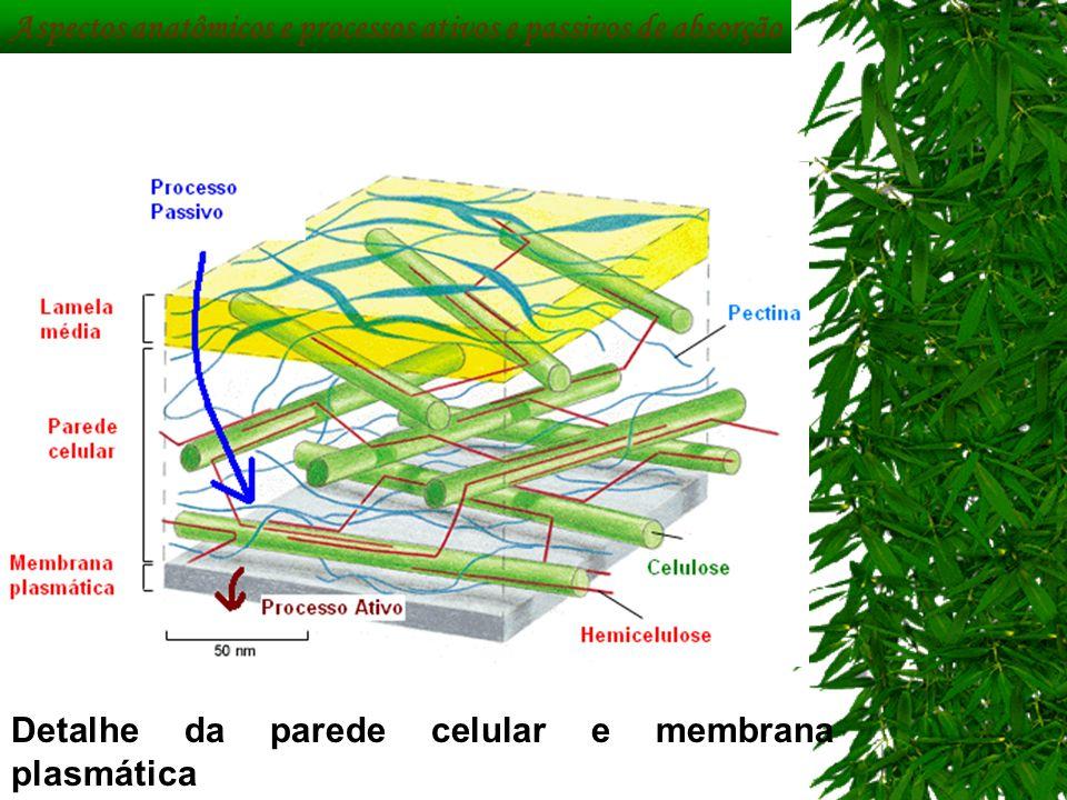 Detalhe da parede celular e membrana plasmática Aspectos anatômicos e processos ativos e passivos de absorção