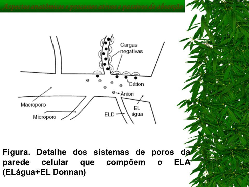 Figura. Detalhe dos sistemas de poros da parede celular que compõem o ELA (ELágua+EL Donnan) Aspectos anatômicos e processos ativos e passivos de abso