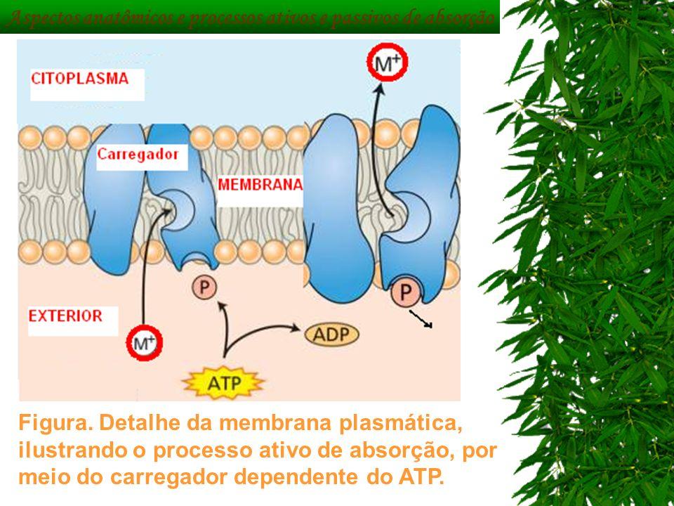 Figura. Detalhe da membrana plasmática, ilustrando o processo ativo de absorção, por meio do carregador dependente do ATP. Aspectos anatômicos e proce