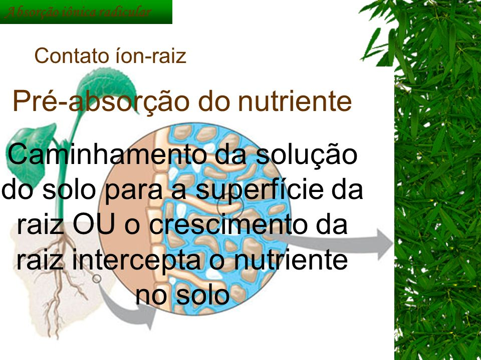 Absorção iônica radicular Contato íon-raiz Pré-absorção do nutriente Caminhamento da solução do solo para a superfície da raiz OU o crescimento da rai