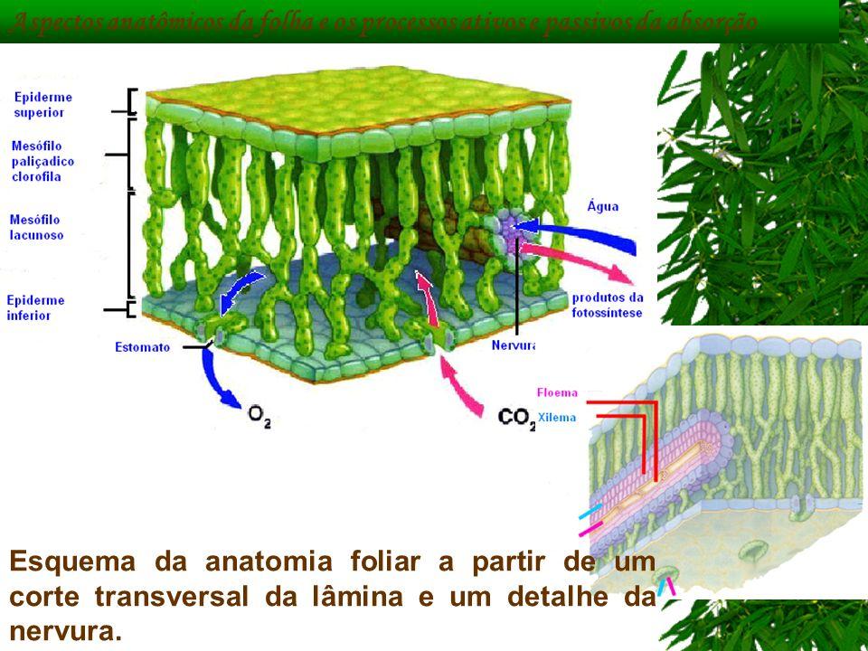 Aspectos anatômicos da folha e os processos ativos e passivos da absorção Esquema da anatomia foliar a partir de um corte transversal da lâmina e um d
