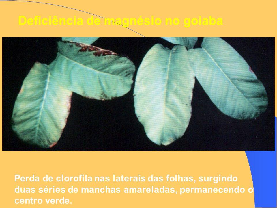 Deficiência de magnésio no goiaba Perda de clorofila nas laterais das folhas, surgindo duas séries de manchas amareladas, permanecendo o centro verde.