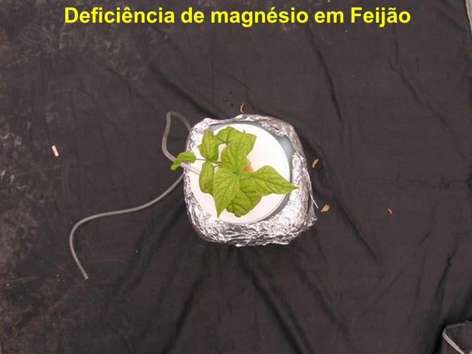 Deficiência de magnésio em Feijão