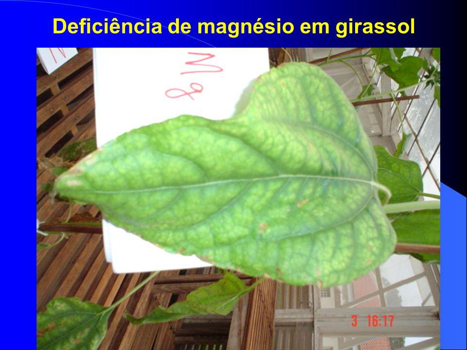 Deficiência de magnésio em girassol