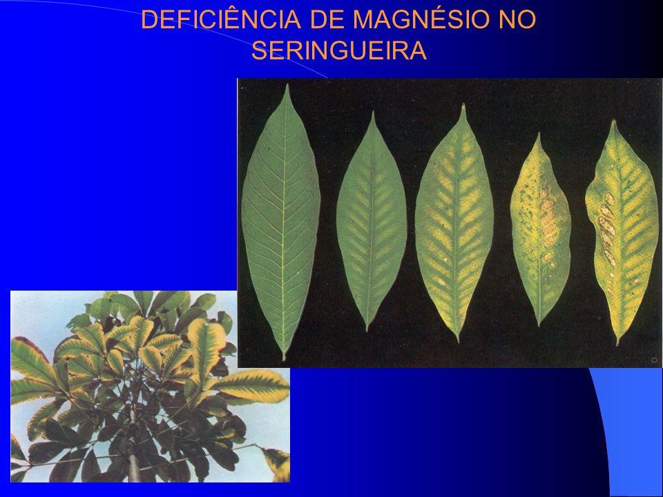 DEFICIÊNCIA DE MAGNÉSIO NO SERINGUEIRA